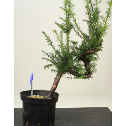 TAXUS BACCATA 7967