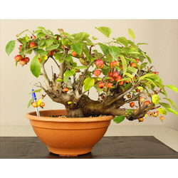 MALUS EVEREST A00136
