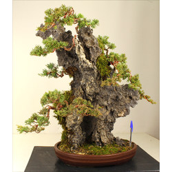 JUNIPERUS CHINENSIS A00140