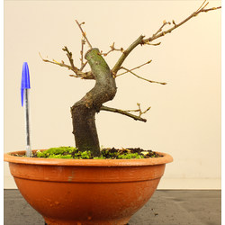 CARPINUS (CARPE) A00167