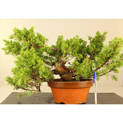 JUNIPERUS CHINENSIS...