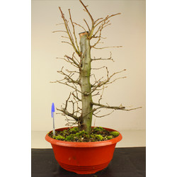 CARPINUS (CARPE) A00267