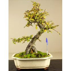 COTONEASTER A00271