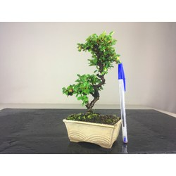 COTONEASTER 1103