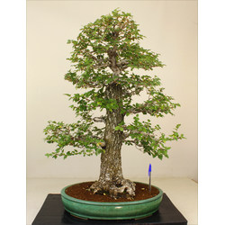 ULMUS MINOR (OLMO) A00755