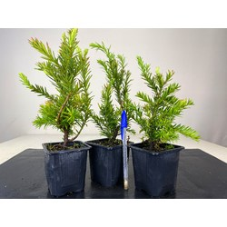 TAXUS BACCATA  8444