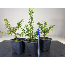 COTONEASTER 8488