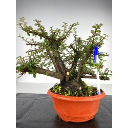 COTONEASTER I-2925